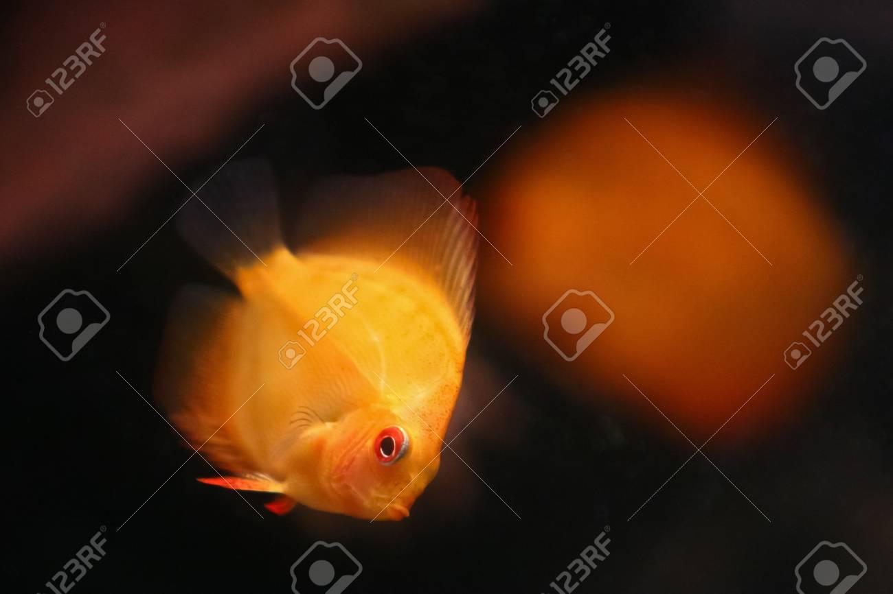 Orange discus fish swiming in aquarium Stock Photo - 12611277