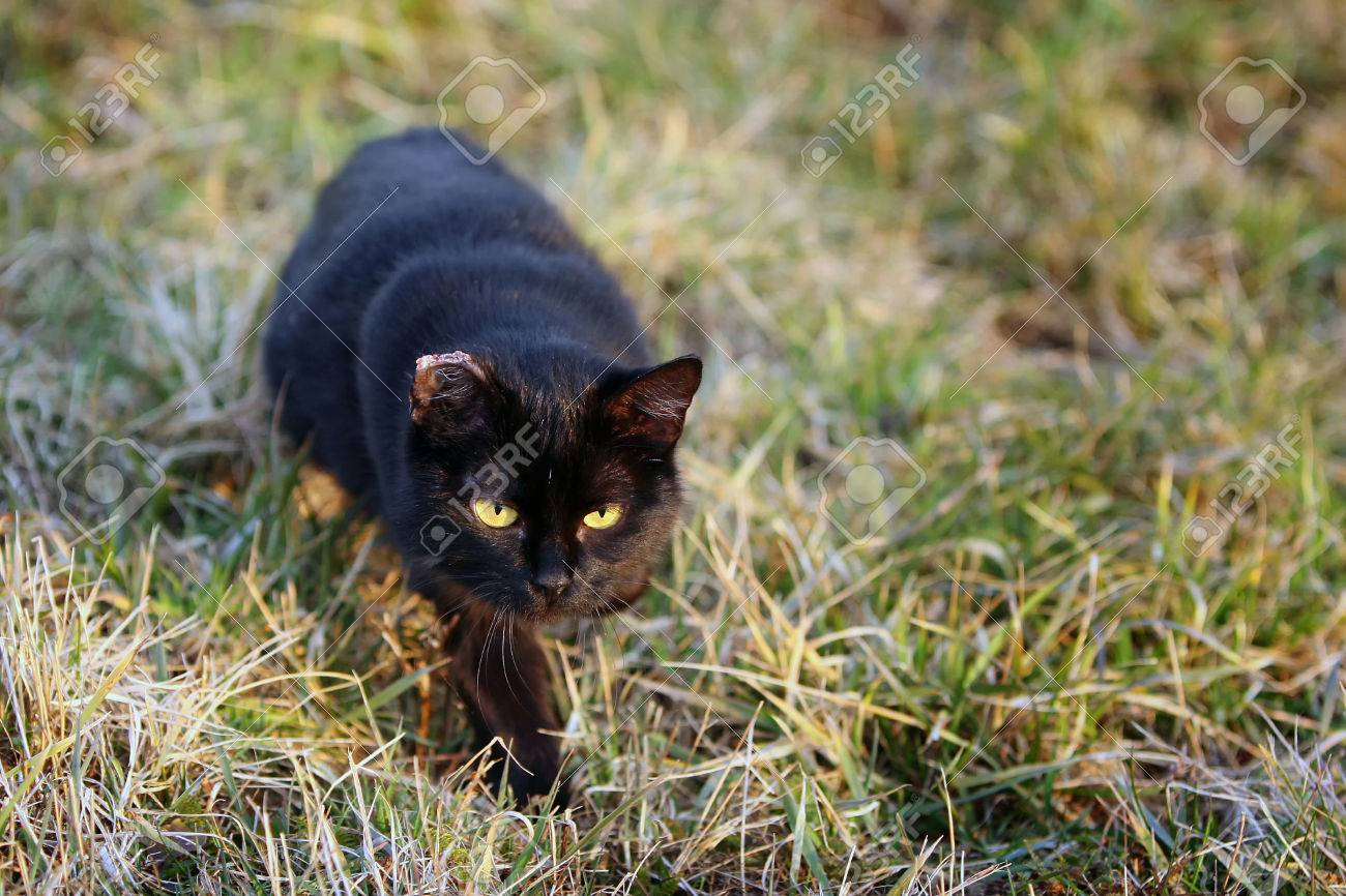 an injured black cat with a damaged ear sneaking in the grass stock photo
