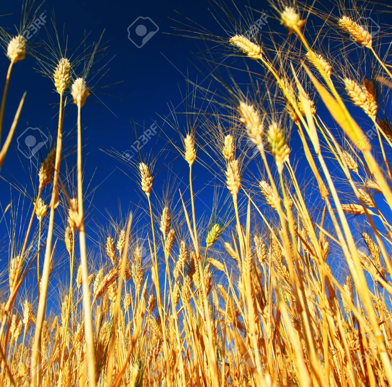 Wheat field landscape closeup on rye over blue sky Stock Photo - 7585605