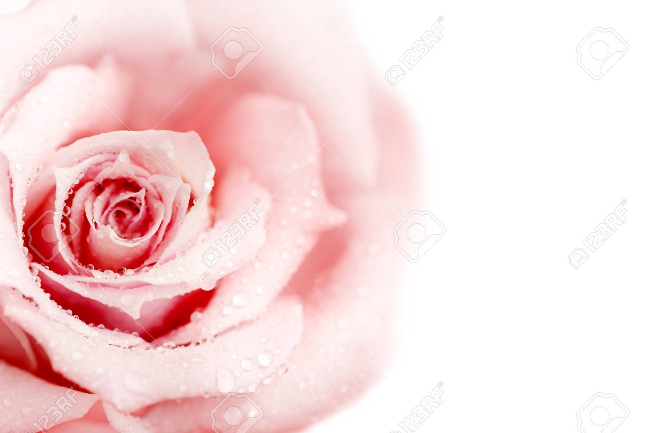 Beautiful fresh pink rose with morning dew isolated on white background Stock Photo - 8605732