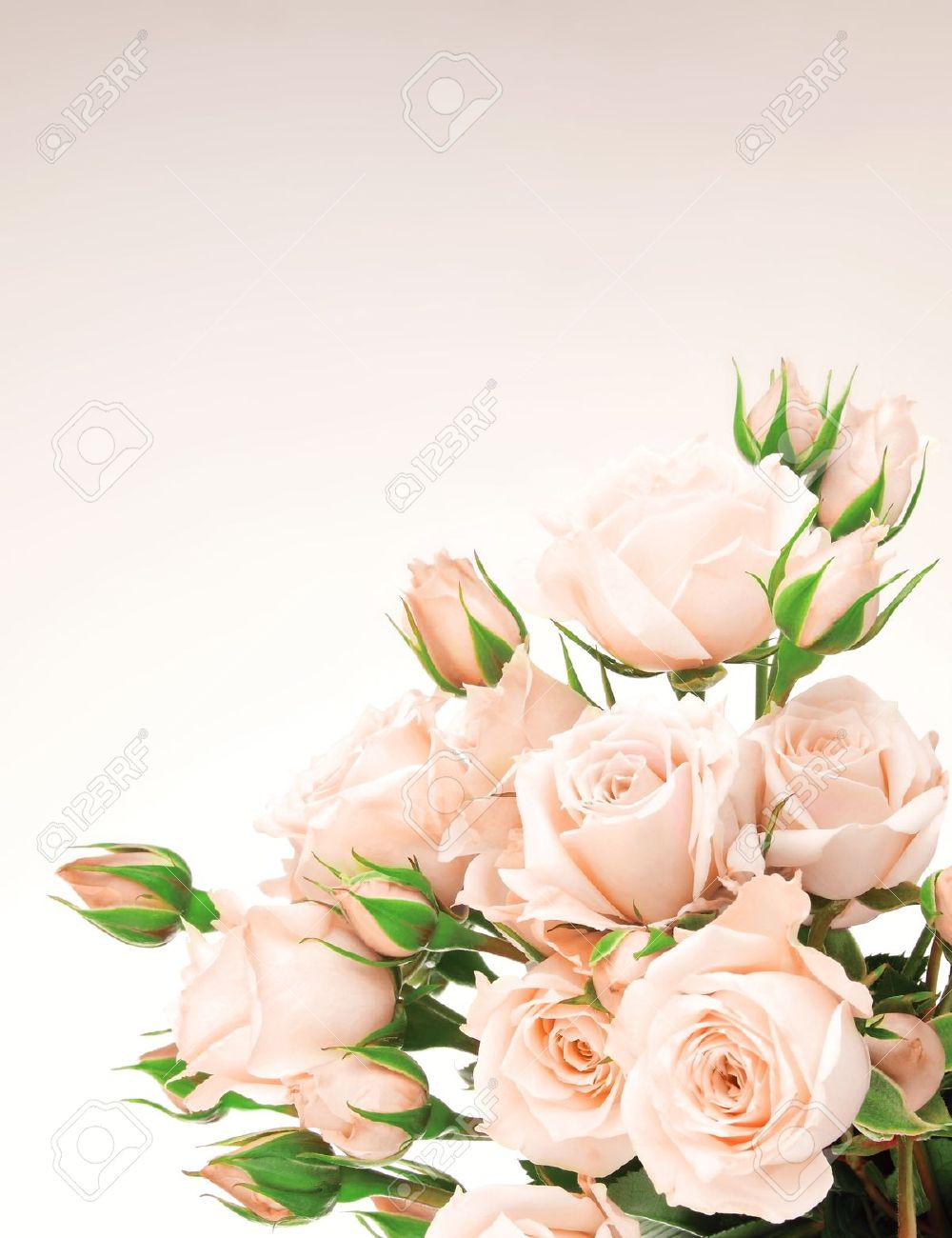 Fresh pink roses border, beautiful isolated flowers Stock Photo - 8749957
