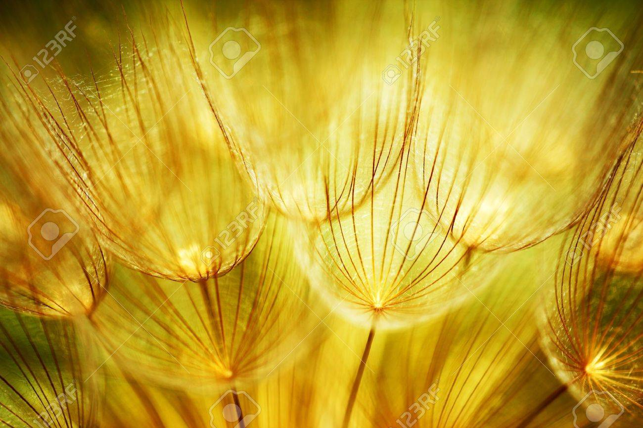 Soft dandelions flower, extreme closeup, abstract spring nature background Stock Photo - 9059319