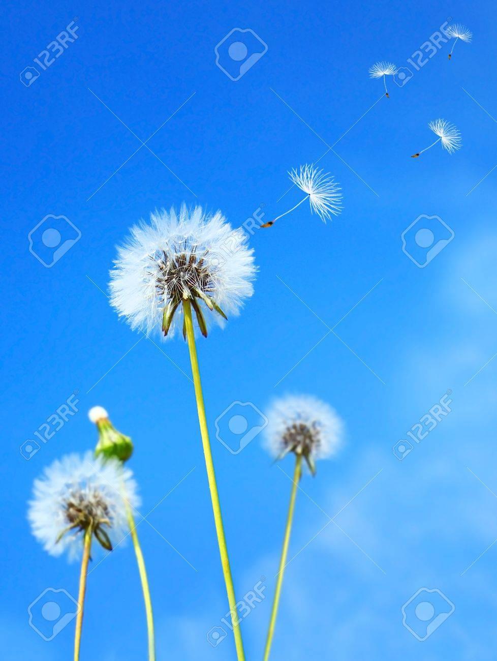 Dandelion flower field over blue sky - 9139007