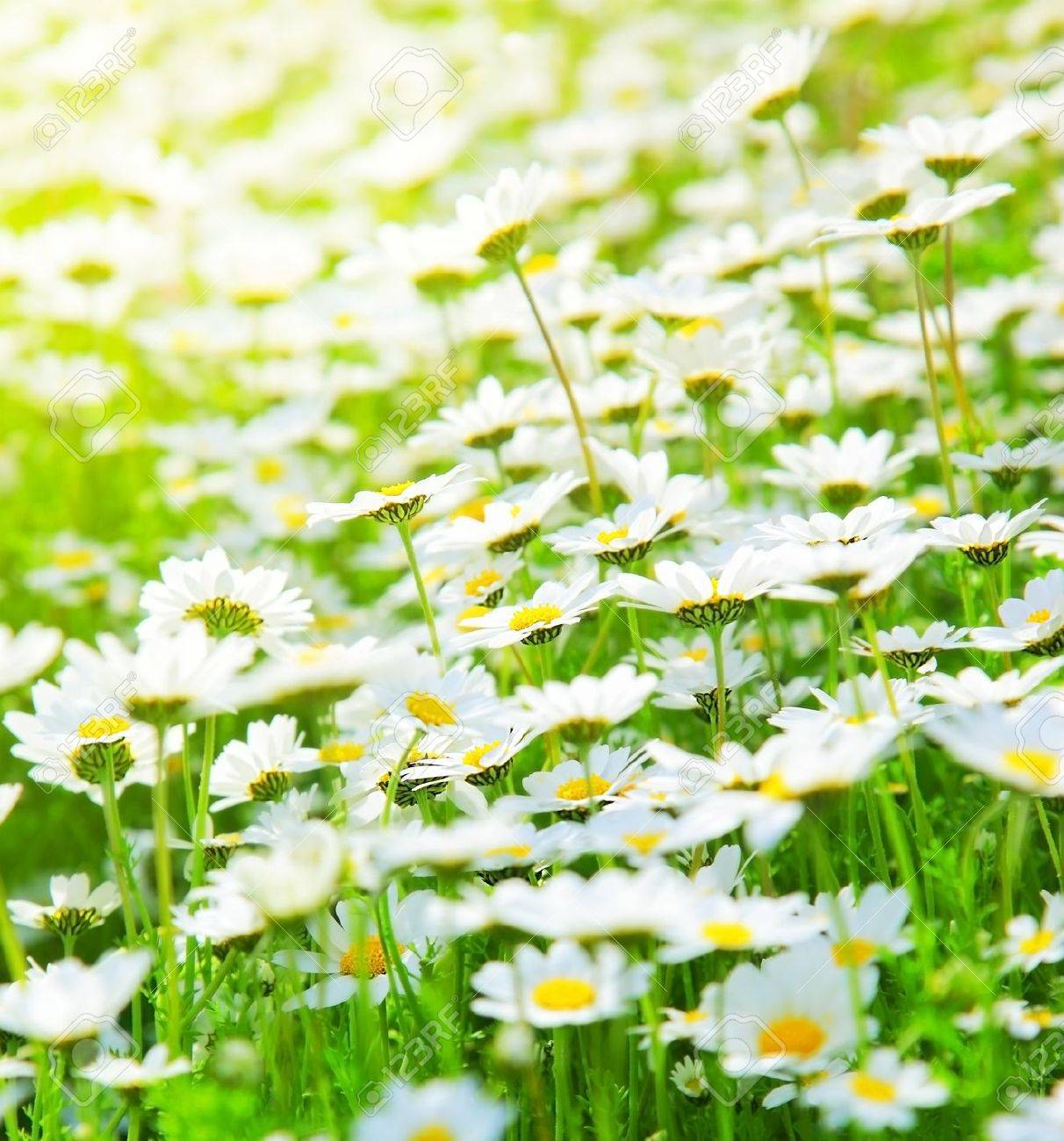 Spring meadow of white fresh daisy flowers with bright sun light, natural landscape Stock Photo - 9327305