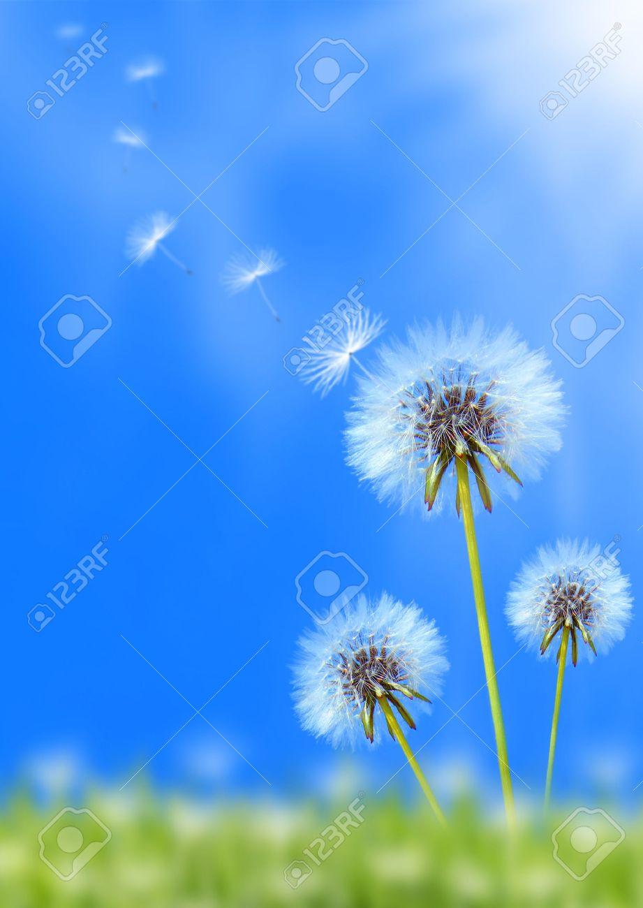 Dandelion flower field over blue sky Stock Photo - 9762968