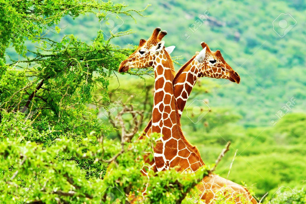 African giraffes family, two animals fighting with necks, beauty of wildlife, safari travel - 10325245