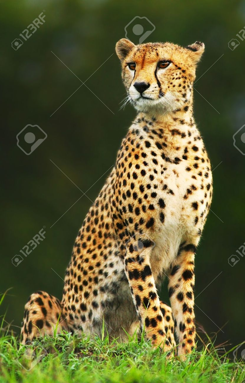 Wild african cheetah portrait, beautiful mammal animal, endangered carnivore, Africa. Kenya. Masai Mara - 10993928