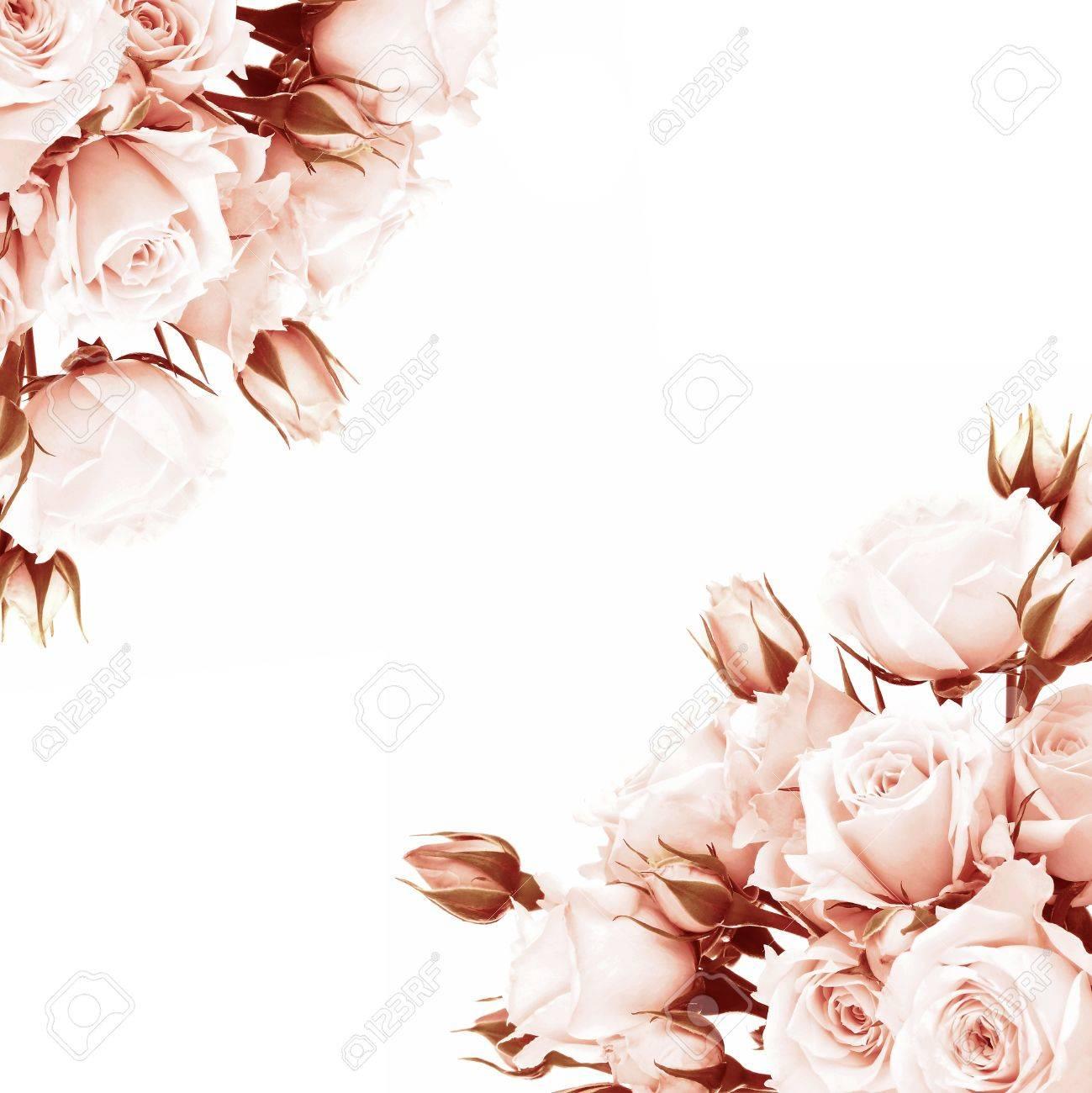 Fresca Rosa Marco De Las Rosas, Hermosas Flores Aislado En Blanco ...