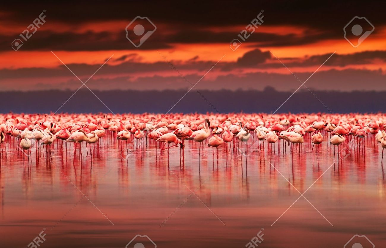 African flamingos in the lake over beautiful sunset, flock of exotic birds at natural habitat, Africa landscape, Kenya nature, Lake Nakuru national park reserve Stock Photo - 12589175