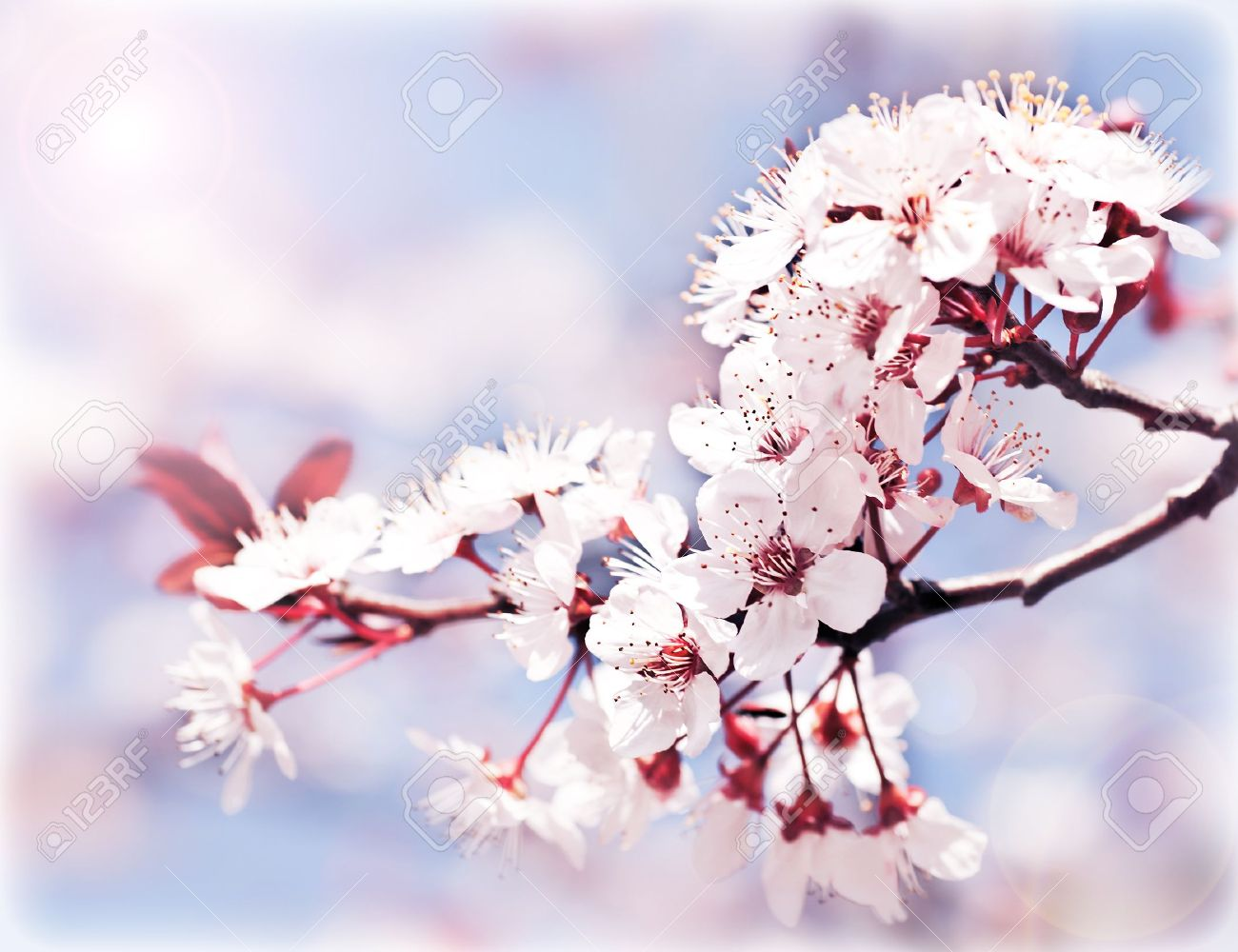 Fruit Tree Flowers Part - 40: Blooming Tree At Spring, Fresh Pink Flowers On The Branch Of Fruit Tree,  Plant