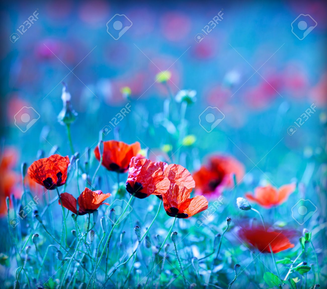 Poppy flower field at night royalty free stock photography image - Poppy Flower Field At Night With A Dreamy Blue Cast And Selective Soft Focus Natural