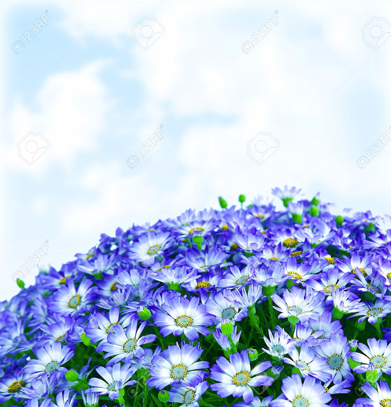 Floral Daisy Border, Fresh Spring Blue Blooming Flowers Over.. Stock ...