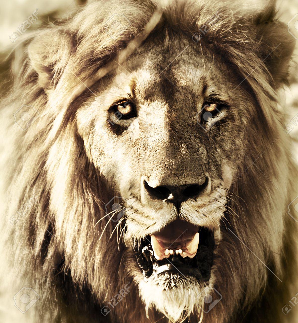 Bien connu La Tête Des Lions, Close-up Portrait Visage Du Lion, Animal  LG25