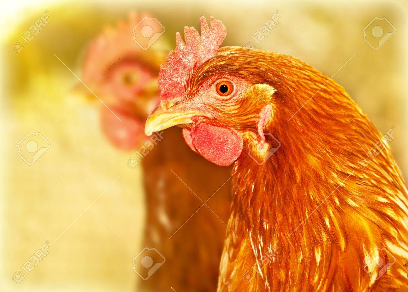 Chicken portrait, brown big bird outdoor, livestock farm land, animal profile face, agriculture industry Stock Photo - 14086318