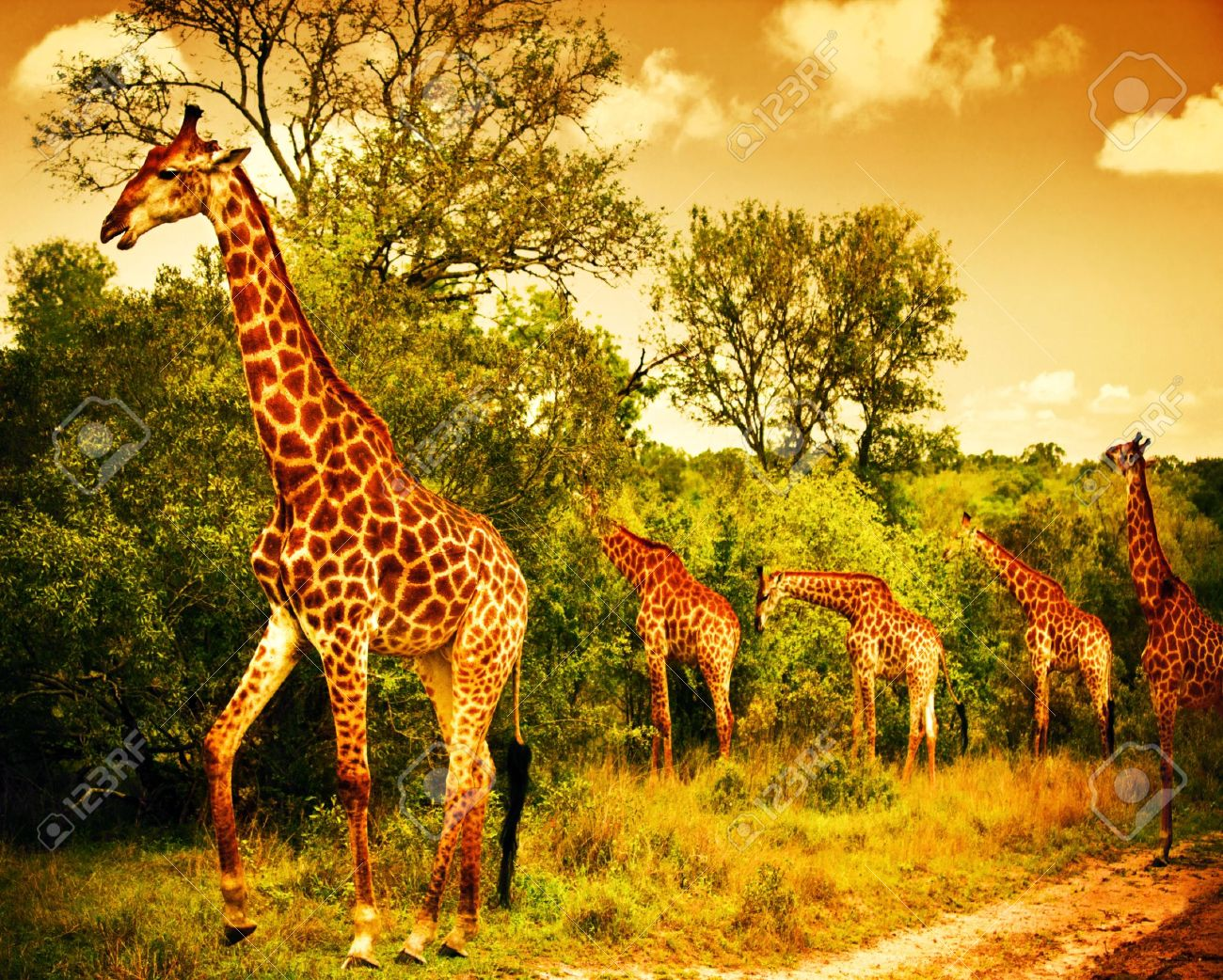 Image of a South African giraffes, big family graze in the wild forest, wildlife animals safari, Kruger National Park, bushes of Sabi Sand game drive reserve, beautiful nature of Africa continent Stock Photo - 15015777