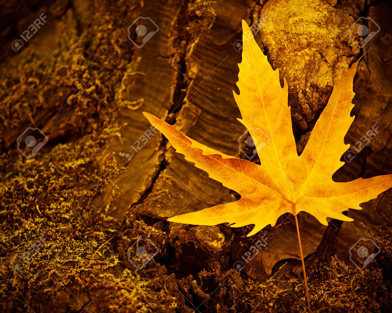 Picture of dry maple leaf on old dark tree trunk, autumn leaves background, yellow autumnal leaves on stump in woods, fall season, autumn nature, old dry plant in forest, nature cycle concept Stock Photo - 15549830