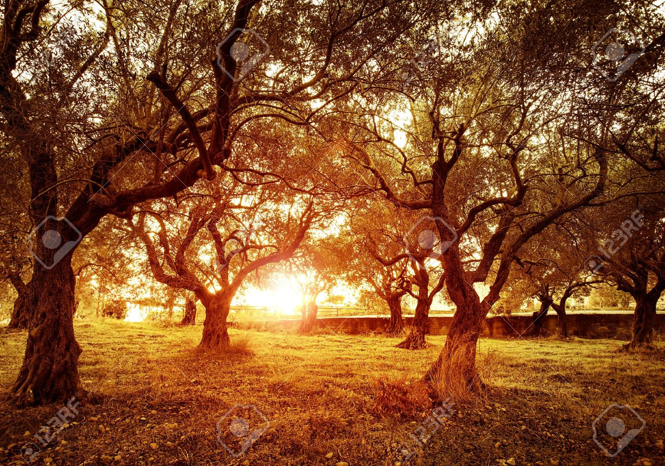 Picture Of Beautiful Orange Sunset In Olive Trees Garden Stock Photo ...