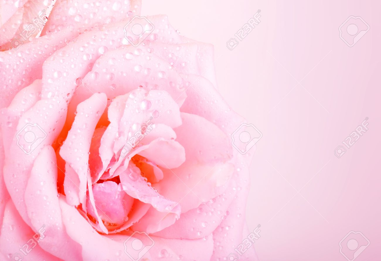 Pink Wedding Cards Background Photo of beautiful pink rose