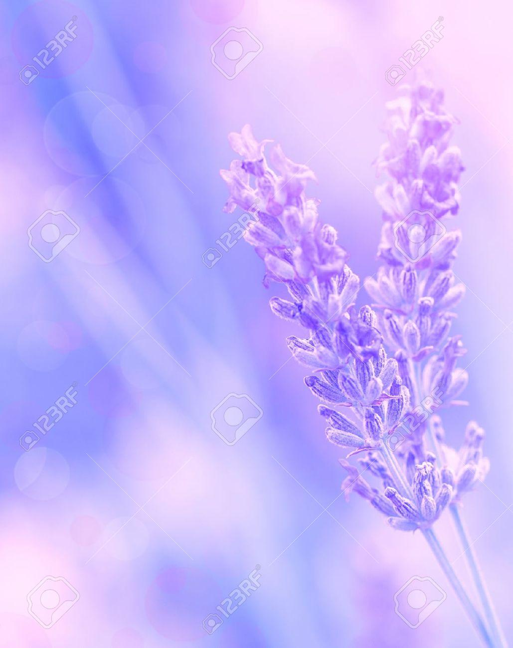 Closeup On Beautiful Gentle Lavender Flower On Blurry Purple.. Stock ... 570b2f615