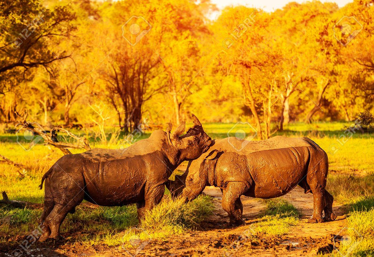 Two fighting rhinoceros in the African park, aggressive animals, big five, couple of playful rhino, nature of savanna, travel and tourism concept Stock Photo - 20924737