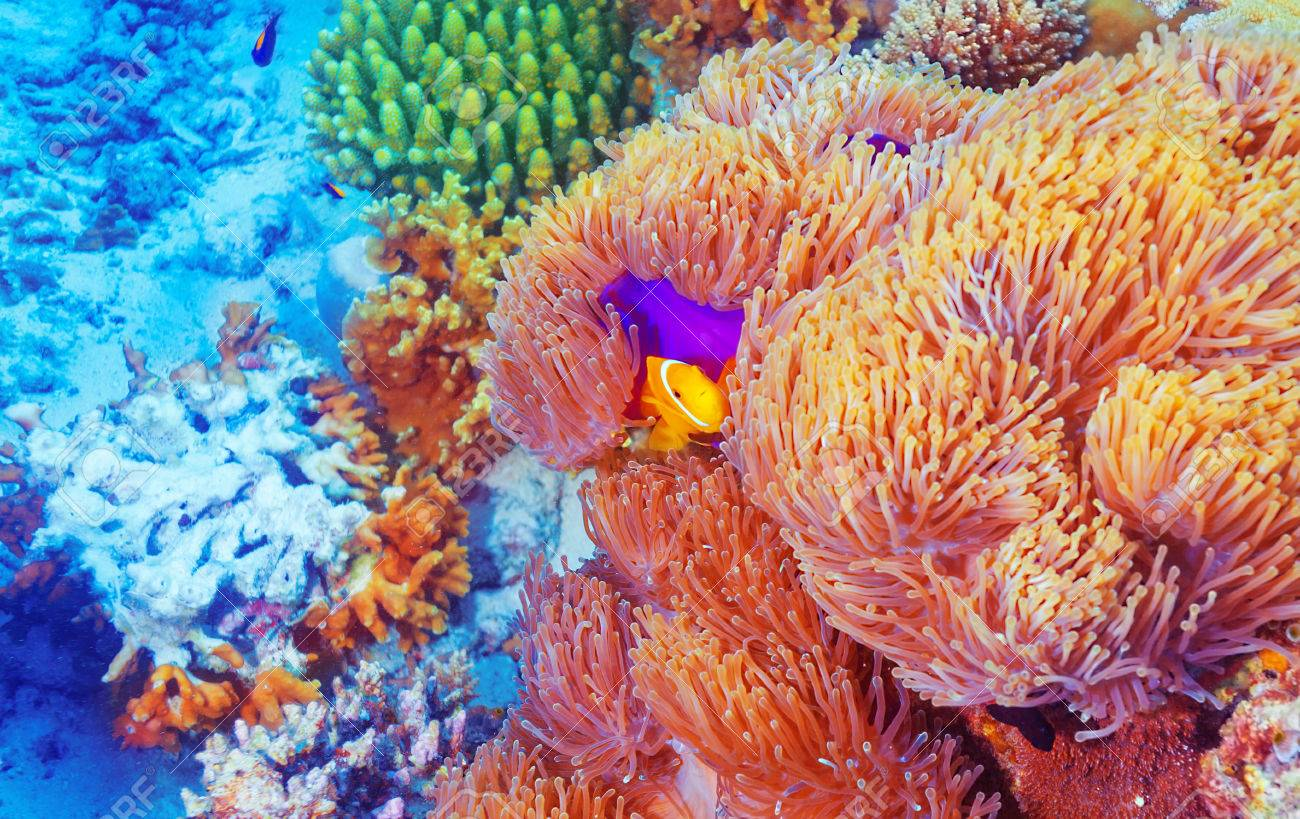 Clown fish swimming near colorful corals, abstract natural background, beautiful wildlife, wonderful nature of Indian ocean Stock Photo - 28141247