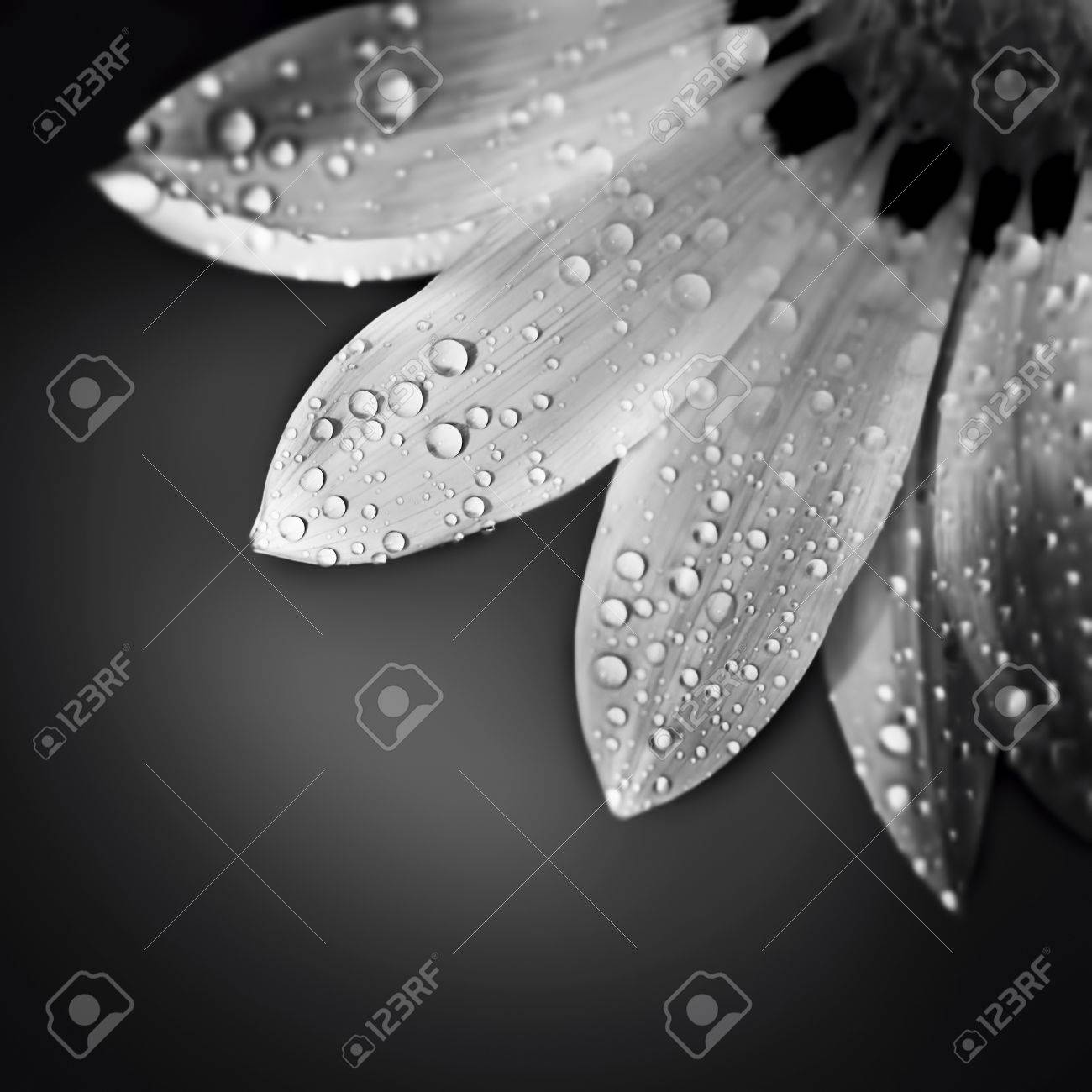 Beautiful Floral Border Black And White Photo Of Gentle Chamomile