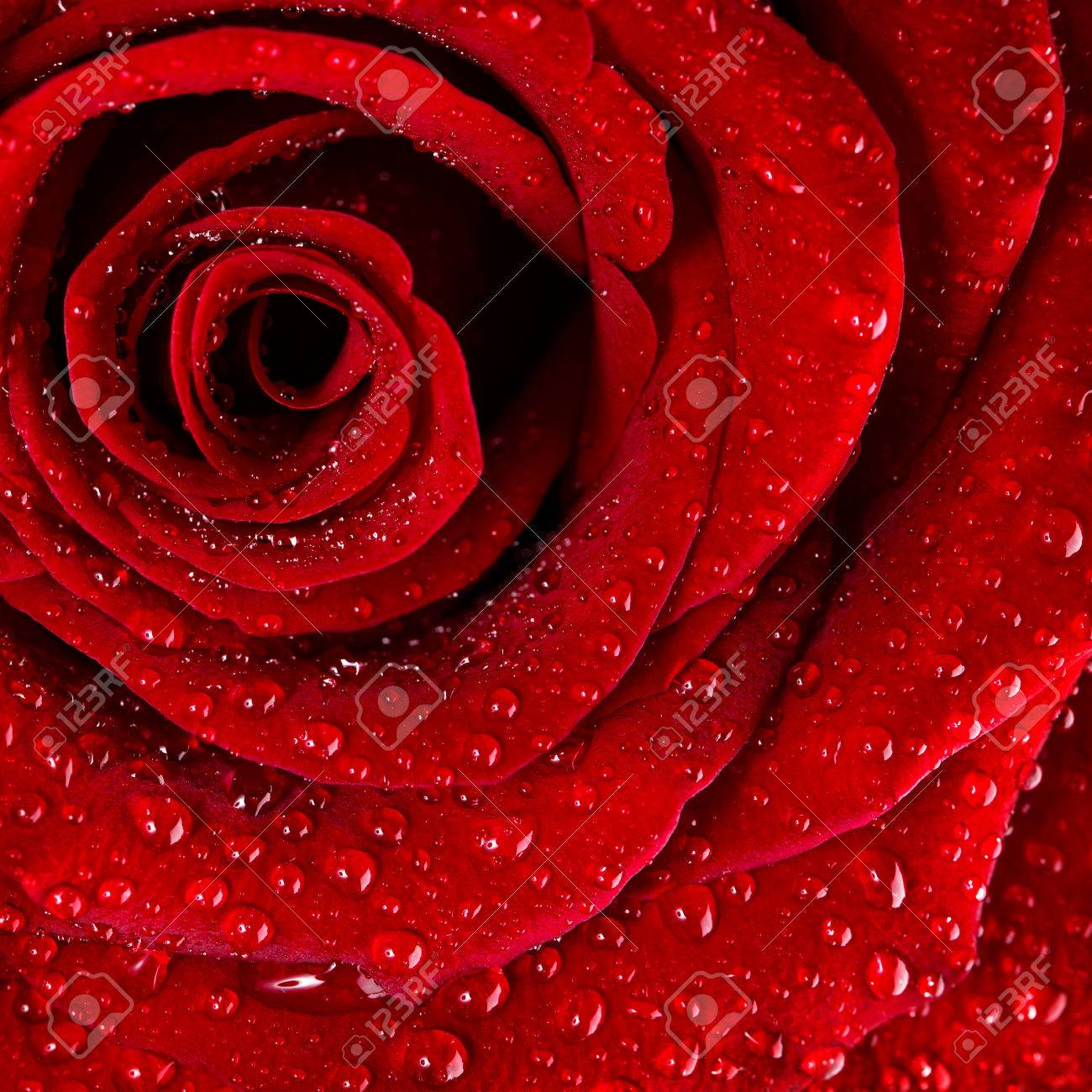 Red Rose Background Dew Drops On The Gentle Fresh Flower Petals