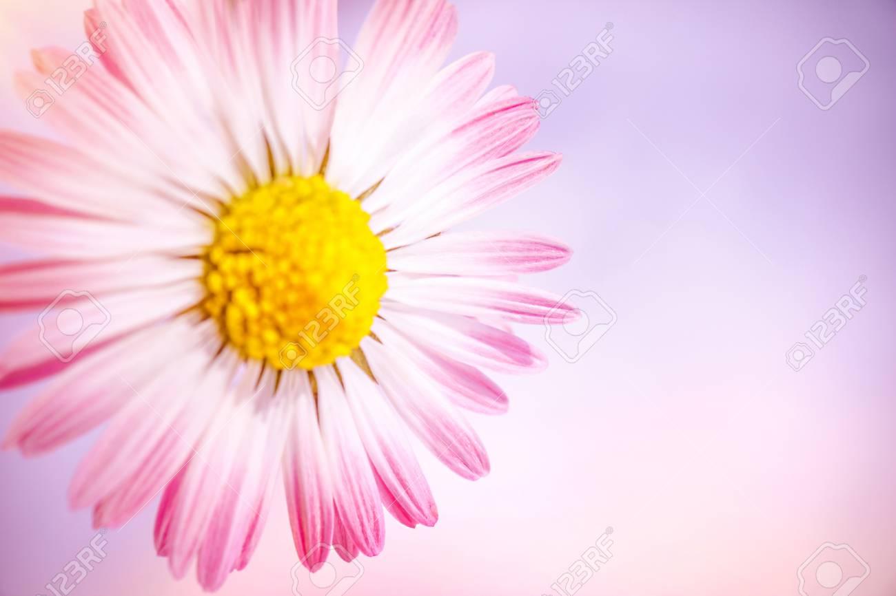 Closeup photo of beautiful gentle pink daisy flower over pink closeup photo of beautiful gentle pink daisy flower over pink background abstract floral border izmirmasajfo