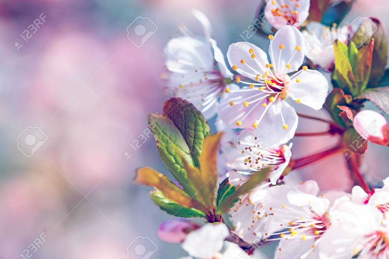 Beautiful fruit tree blooming, gentle flowers border over pink blurry background, copy space, first spring time cherry blossom - 55663222