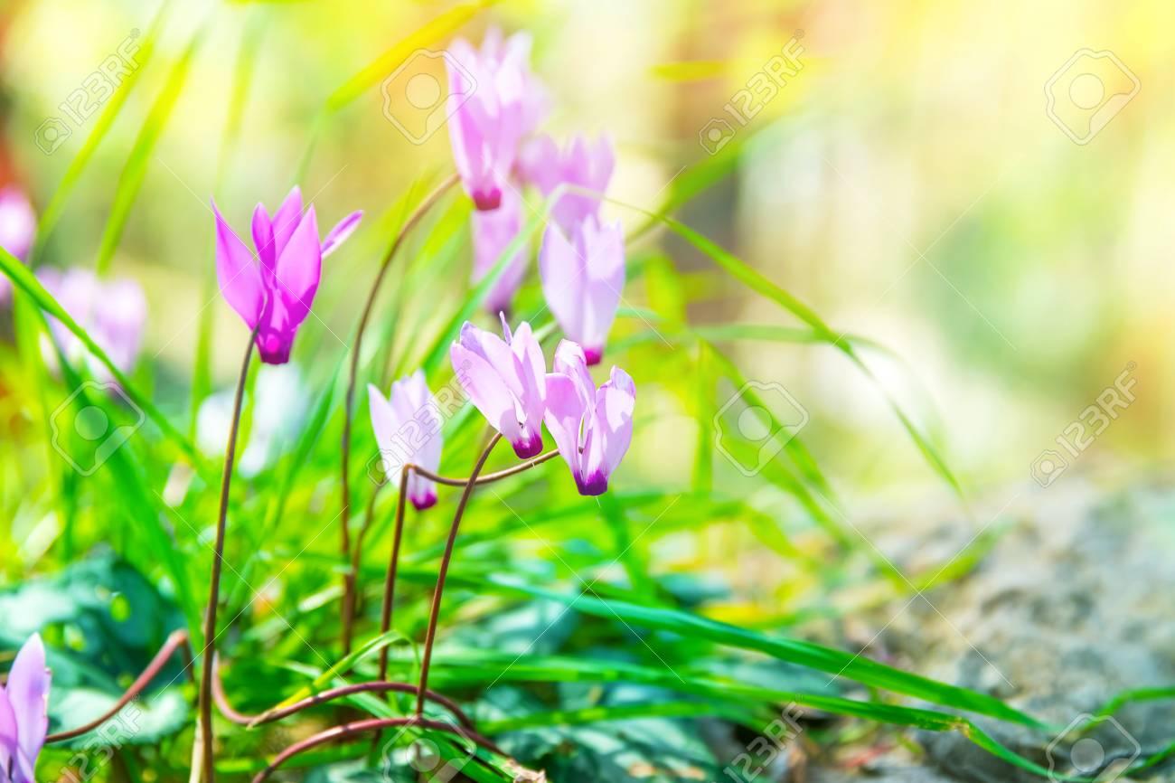 Gentle pink wildflowers beautiful little flowers in the sunny gentle pink wildflowers beautiful little flowers in the sunny meadow in the forest beauty mightylinksfo