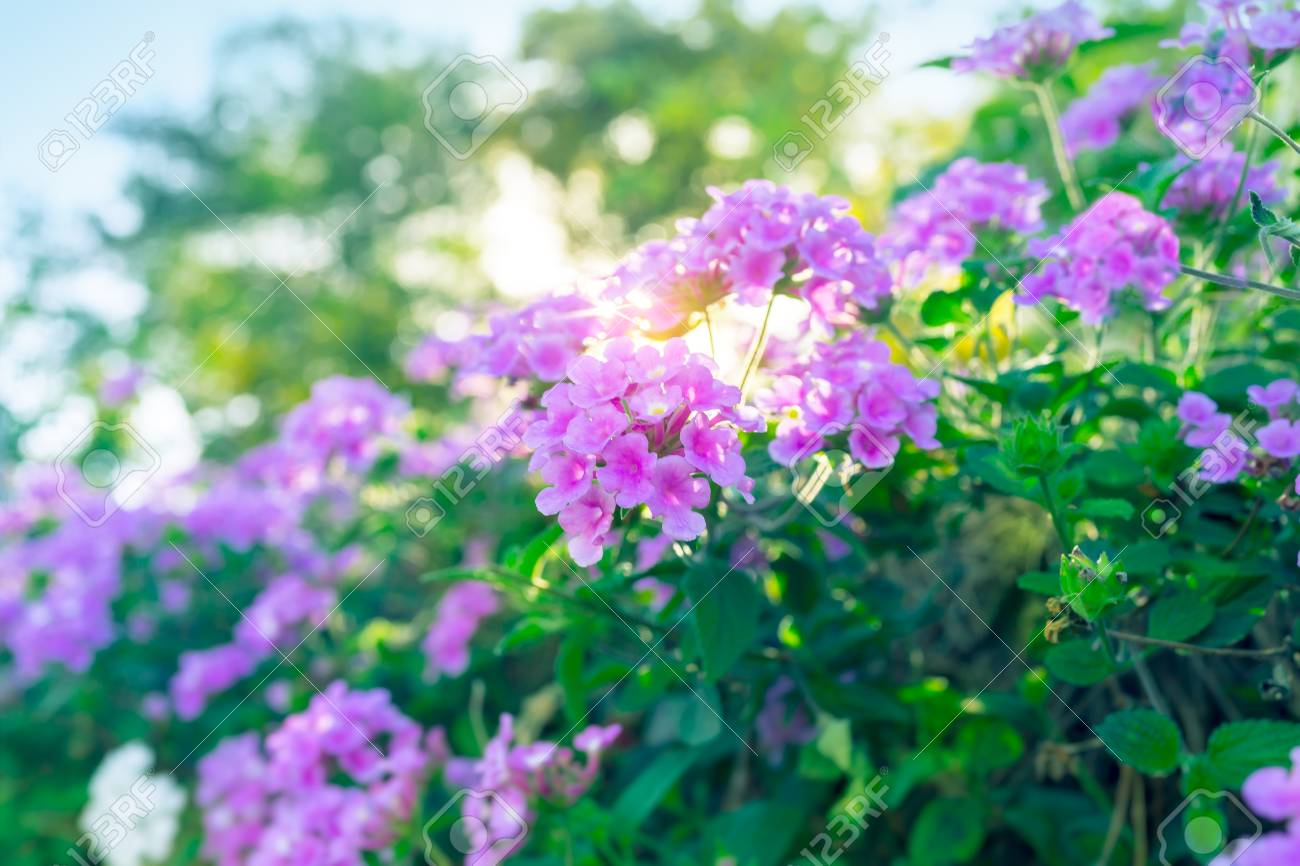 Beautiful Purple Flowers On The Bush Abstract Natural Background