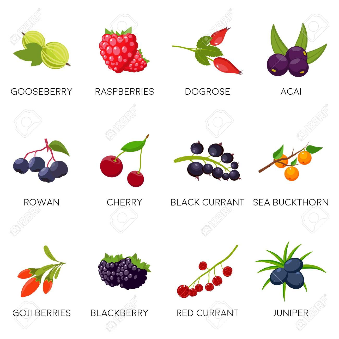 Set berries isolated on white background: currant, cherry, raspberries, rowan, gooseberry, dogrose, blackberry goji juniper. Natural organic berries. Vector illustration - 104889001