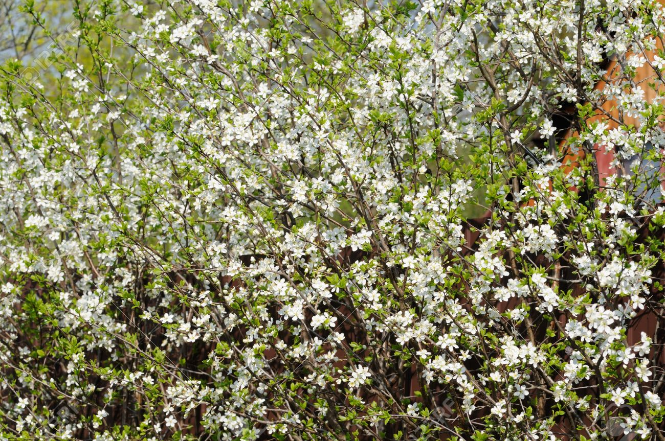 Many Small White Flowers Bloom On The Bush Of Blackthorn Stock Photo