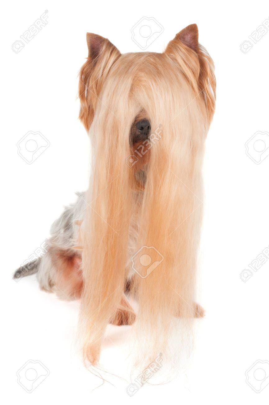Yorkshire Terrier With Very Long Hair Isolated On White Stock Photo