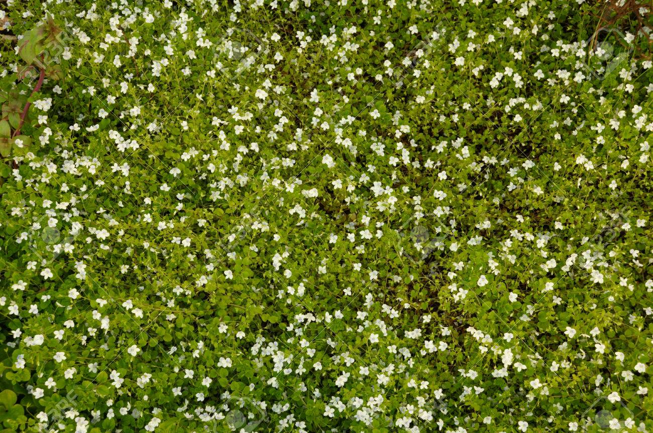 Flower background many small white flowers grow on soil stock flower background many small white flowers grow on soil stock photo 26469042 izmirmasajfo Images