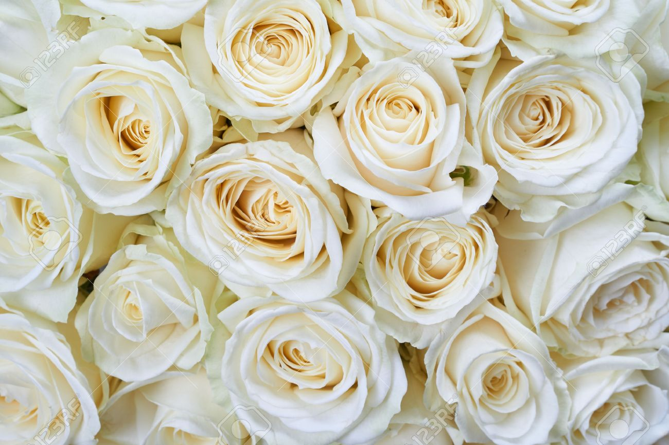 Many White Roses As A Floral Background Stock Photo Picture And