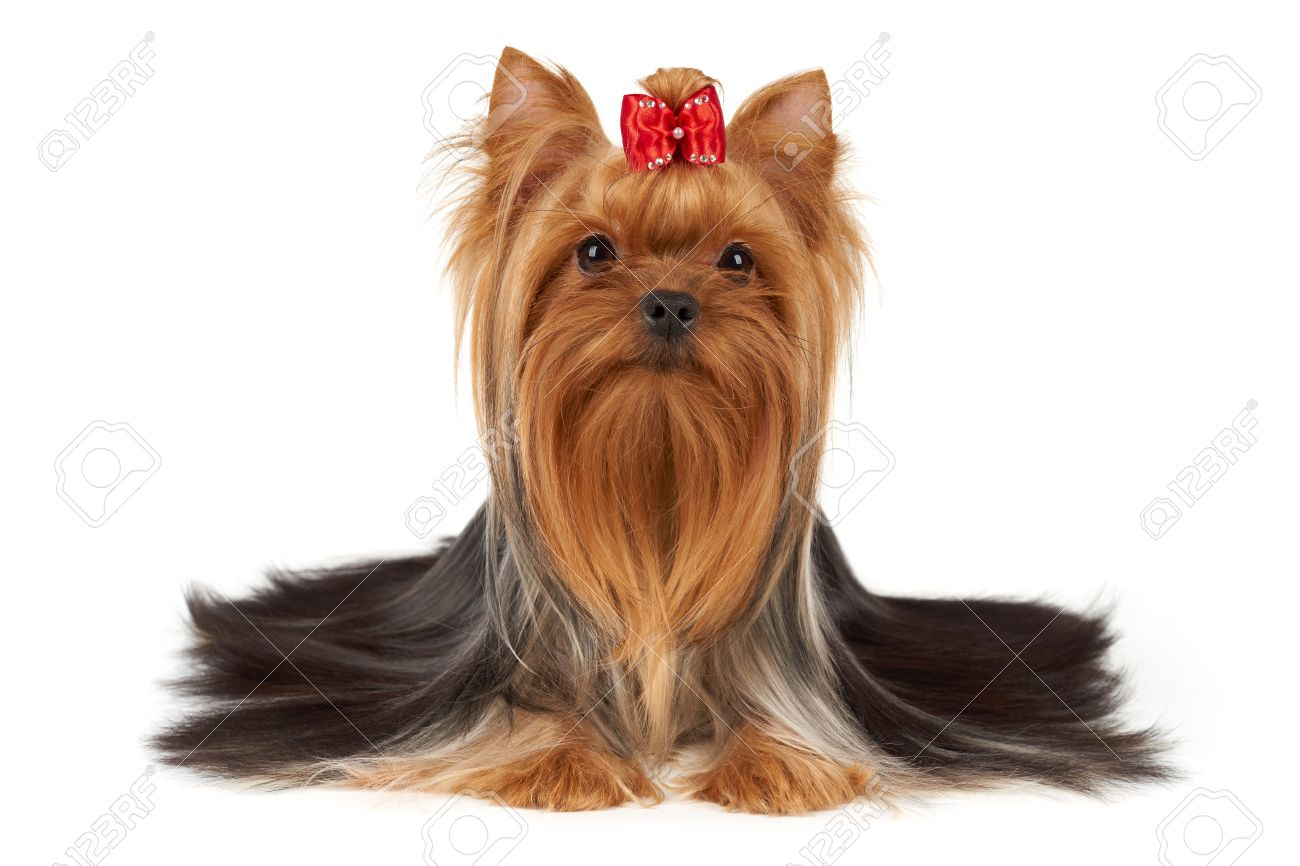 This Purebred Yorkshire Terrier Has Beautiful Long Hair That Stock