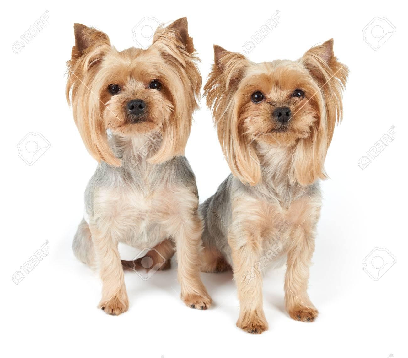 Zwei Yorkshire Terrier Nach Grooming Isoliert Auf Weiß Lizenzfreie