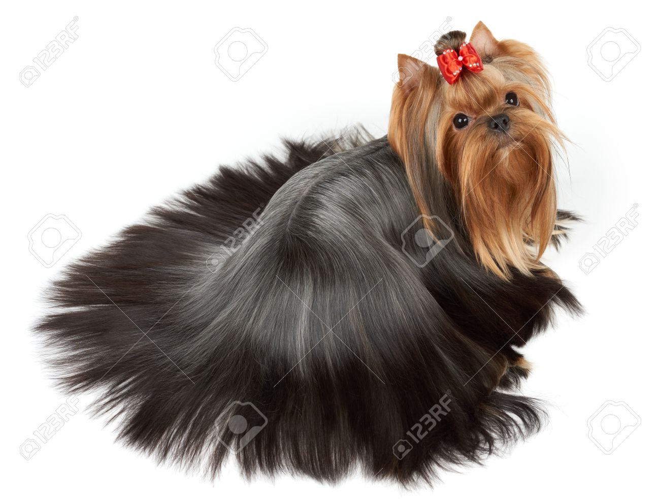 One Yorkshire Terrier With Perfectly Groomed And Combed Long Stock