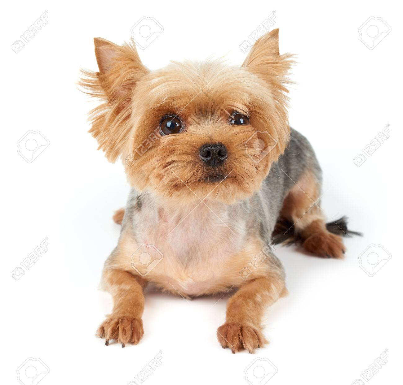 Yorkshire Terrier With Large Eyes And Short Haircut Isolated Stock Photo Picture And Royalty Free Image Image 41193488