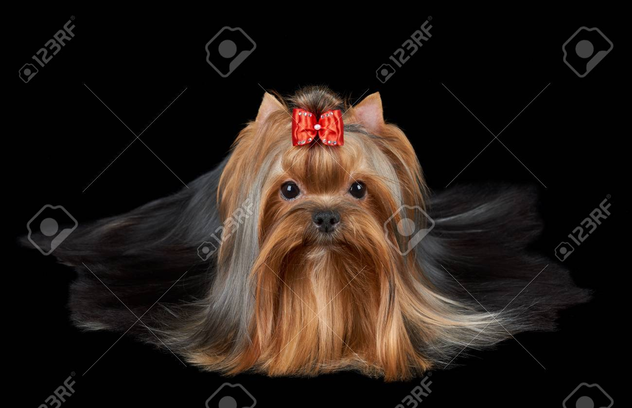 Groomed Yorkshire Terrier With Red Bow And Very Long Hair Lies