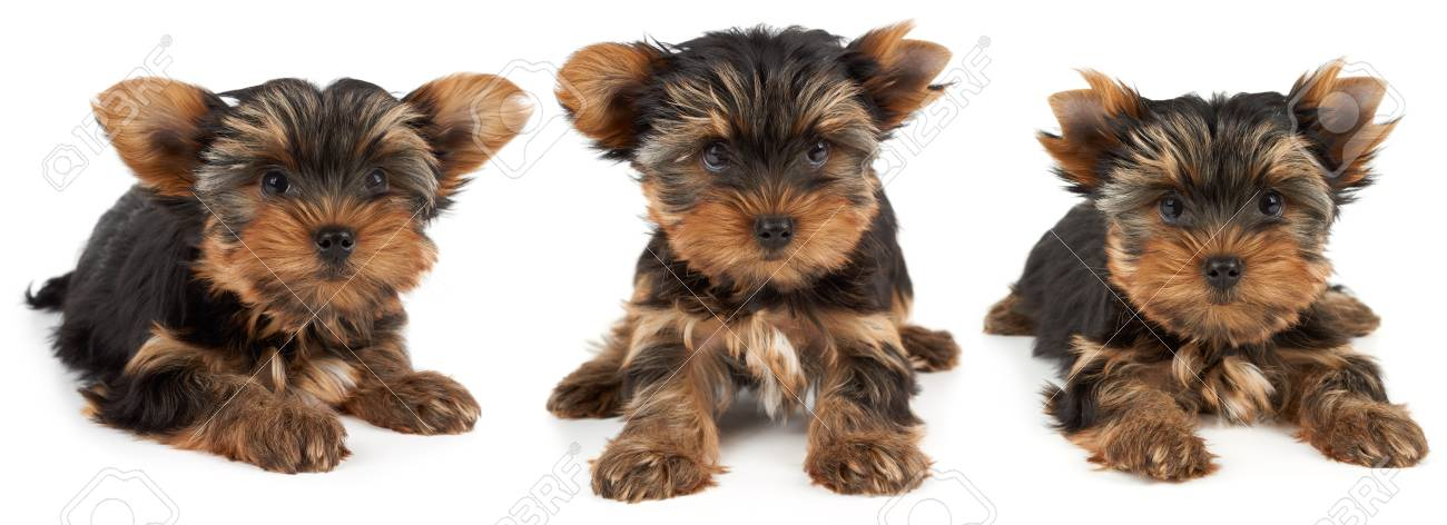 Puppy Of The Yorkshire Terrier On White Background Groomer Cut
