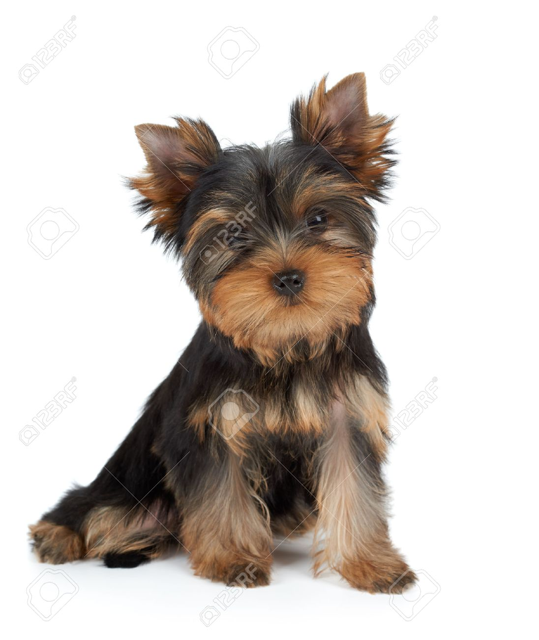 Yorkie Stock Photos Royalty Free Yorkie Images