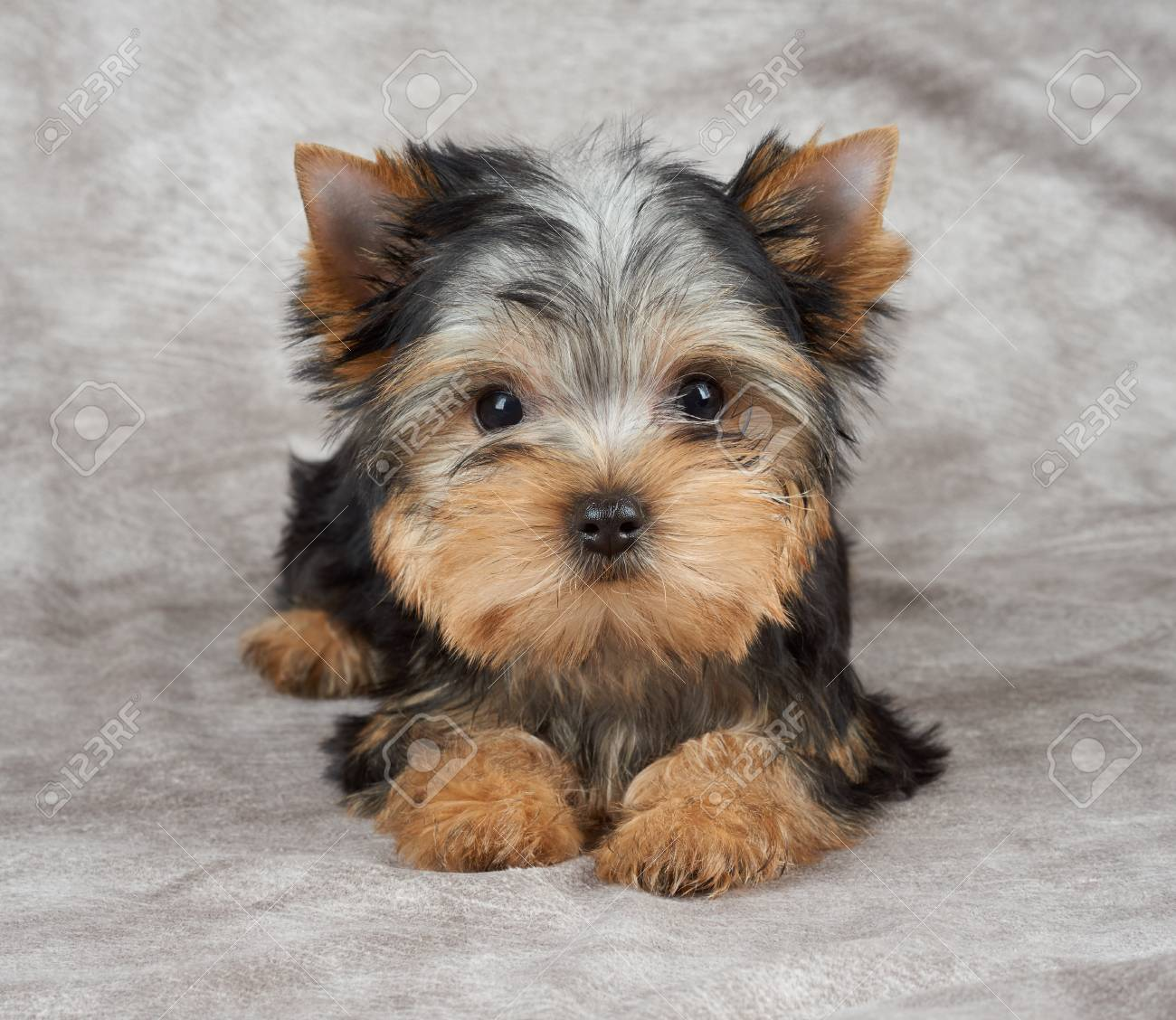 puppy of the yorkshire terrier on beige textile background stock