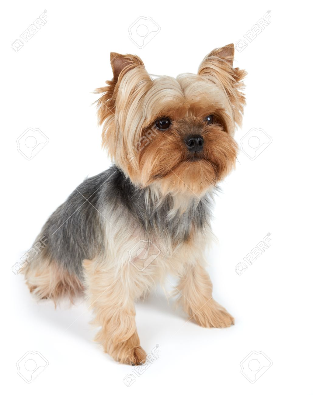 One Yorkshire Terrier With Haircut Isolated On White Stock Photo
