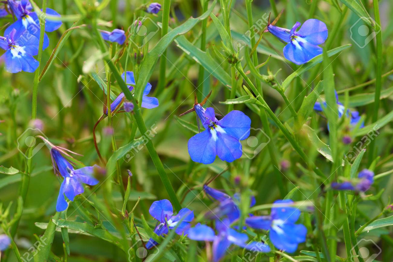 Blue Lobelia Flowers Grow In The Flower Bed As A Background Stock
