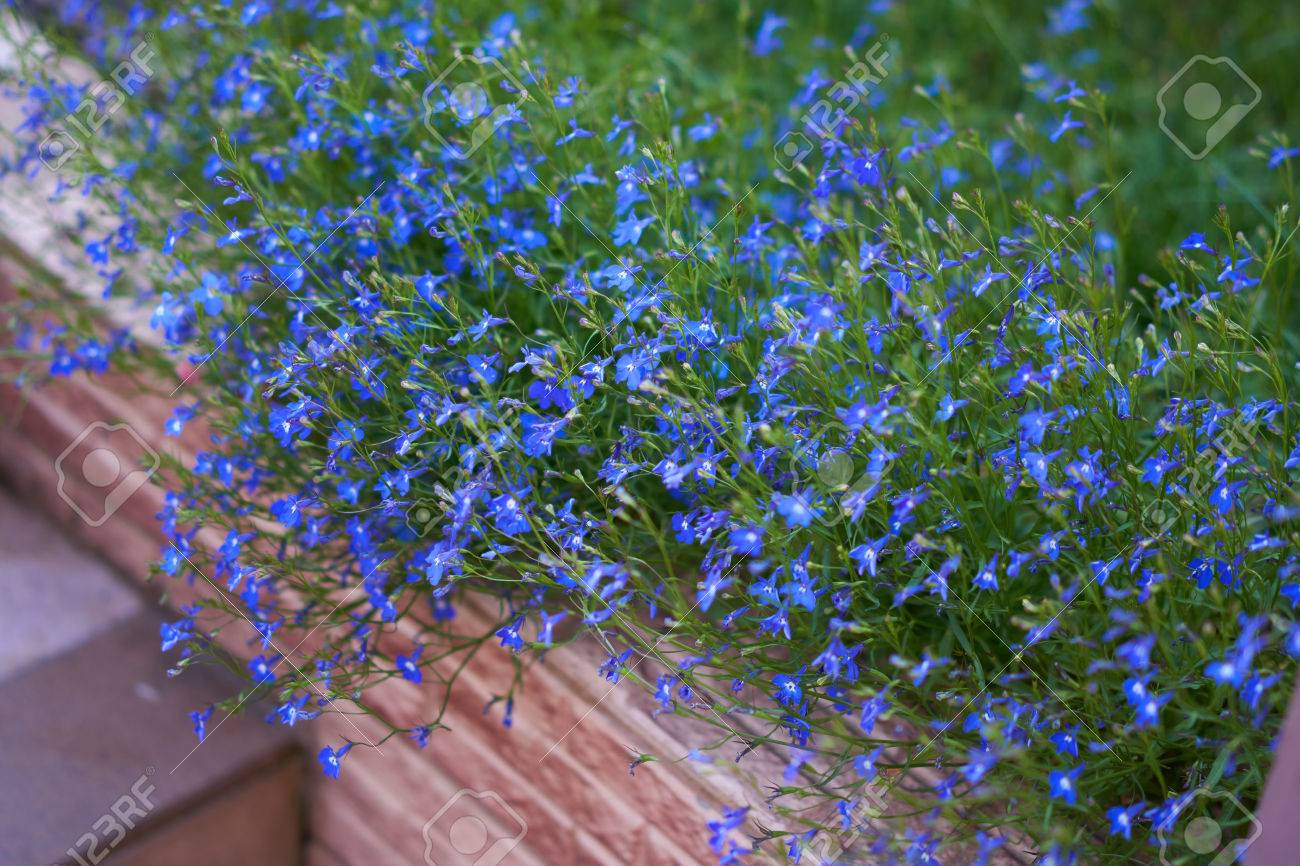 Blue Lobelia Flowers Grow On The Flower Bed In The Summer Garden
