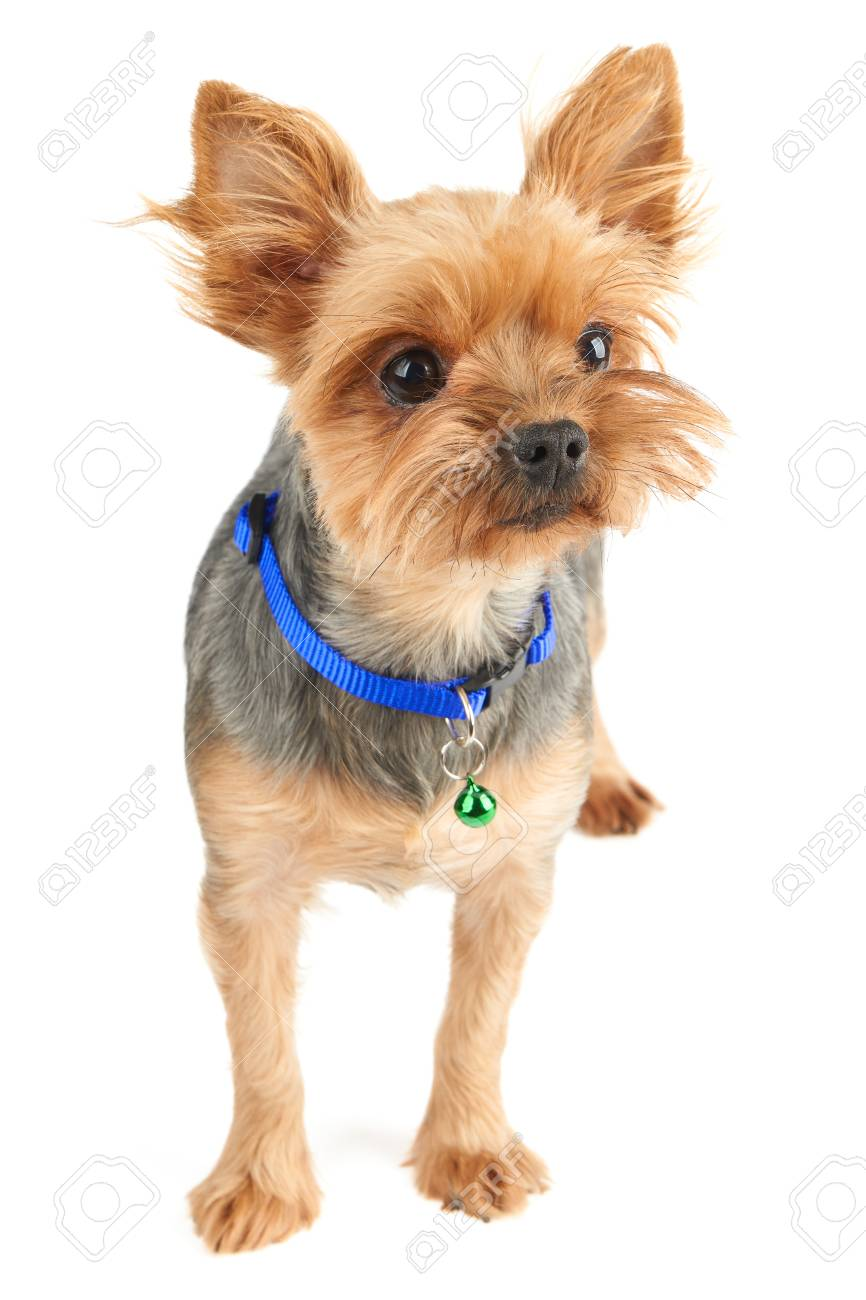 Yorkshire Terrier With Short Hair Isolated On White Background Stock Photo Picture And Royalty Free Image Image 94247476