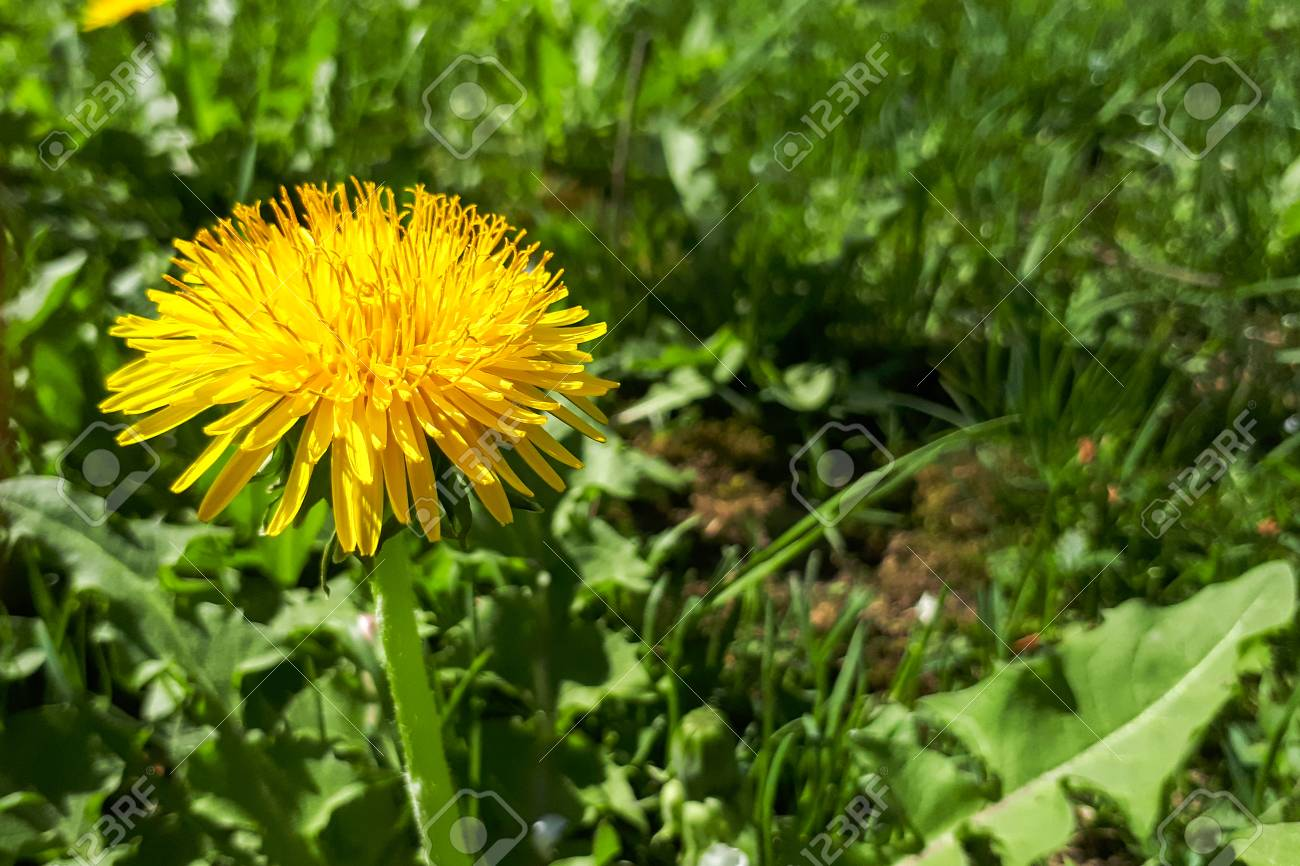 Closeup Of A Bright Yellow Blooming Sow Thistle Sonchus Oleraceus