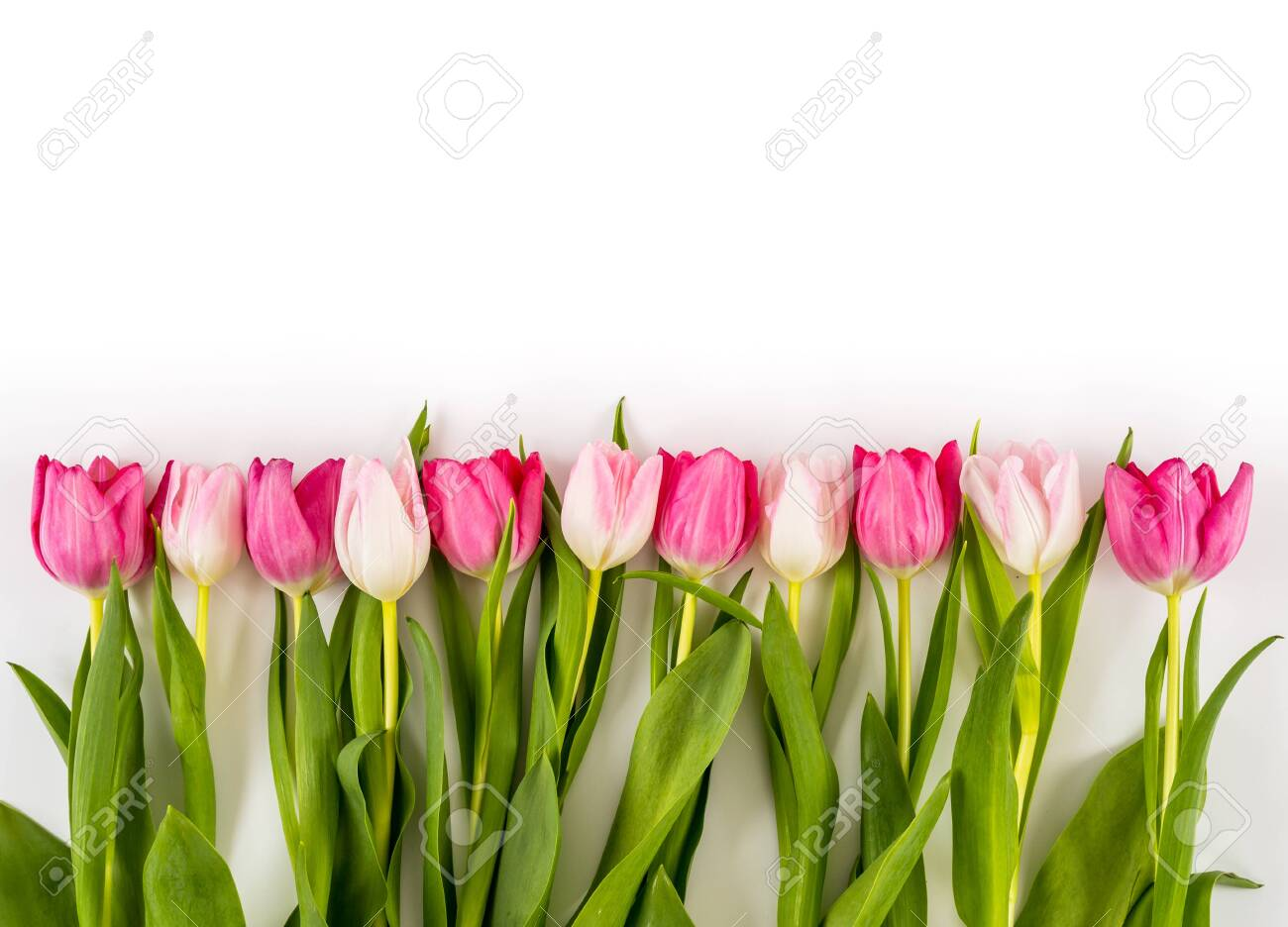 Spring Fresh multicolored tulips isolated on white background. Congratulation. Valentine's Day, spring, Easter. Space for text. - 138087326